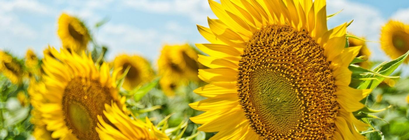 Usage sécuritaire des huiles photosensibilisantes durant la période estivale