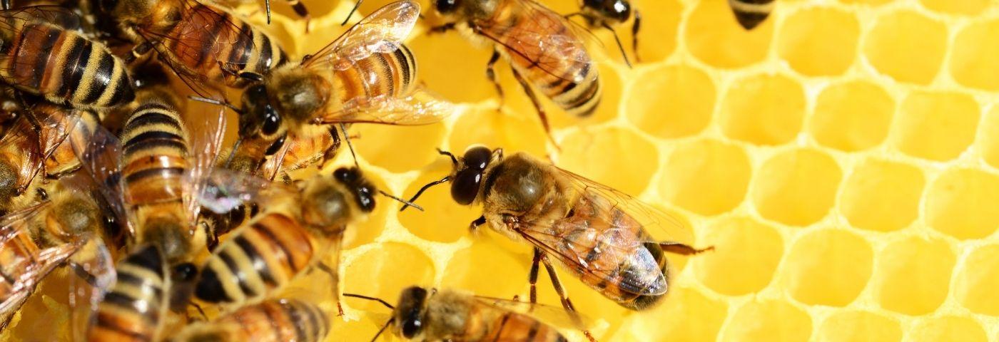 Le miel, de l'hiéroglyphe à l'apiculture urbaine